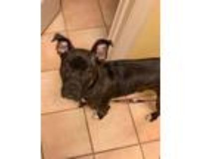 Adopt Mary a American Staffordshire Terrier, Pit Bull Terrier