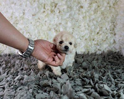 Maltipoo Maltese Poodle puppy
