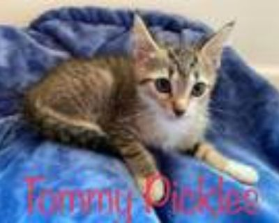 Adopt TOMMY PICKLES a Domestic Short Hair