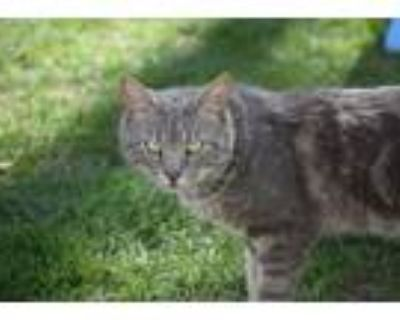 Adopt Cole Houston Crouch a Domestic Short Hair