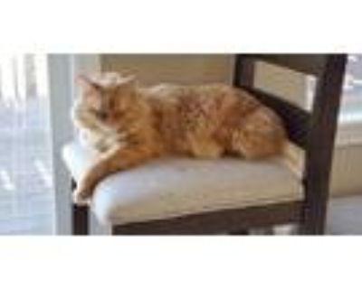 Adopt Leon a Orange or Red (Mostly) Domestic Mediumhair / Mixed (medium coat)