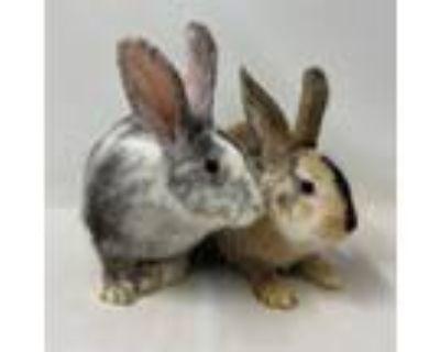 Adopt Boba (and Mochi) a Bunny Rabbit