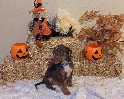 Litter of Bull Terrier/Pitbull Puppies who need new loving homes