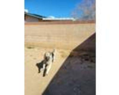 Adopt Lobo a Black - with Tan, Yellow or Fawn German Shepherd Dog / Husky /