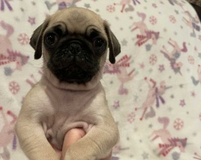 enthusiastic Pug puppies ready
