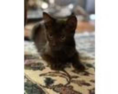 Adopt Diesel (Courtesy Post) a Brown or Chocolate Havana Brown / Mixed (short