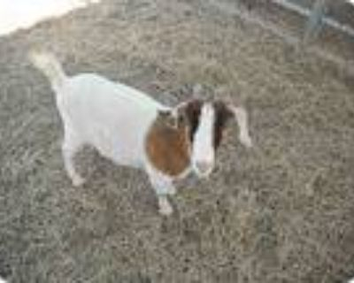 Adopt Posey a Goat farm-type animal in Los Angeles, CA (9126804)