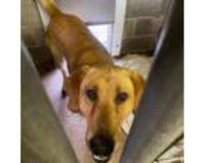 Adopt Azalea Plant a Red/Golden/Orange/Chestnut Labrador Retriever / Mixed dog