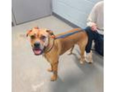 Adopt GOLDFISH a Tan/Yellow/Fawn Boxer / Mixed dog in Tallahassee, FL (32047246)