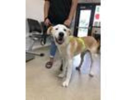 Adopt Teddy a White Retriever (Unknown Type) / Mixed dog in Fort Worth