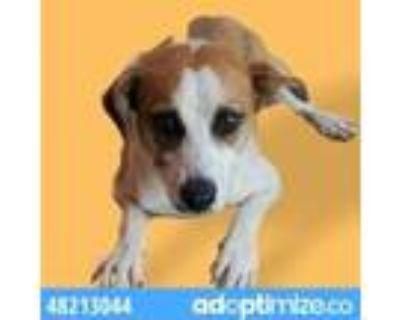 Adopt 48213044 a White Beagle / Mixed dog in El Paso, TX (31961571)
