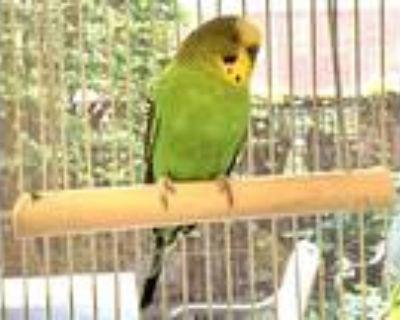 Adopt ARTHUR a Green Parakeet - Other / Mixed bird in Boston, MA (31191140)