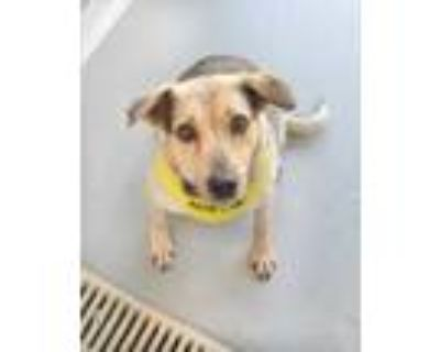 Adopt Alice a Gray/Blue/Silver/Salt & Pepper Shepherd (Unknown Type) / Mixed dog