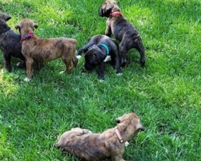 BRINDLE AND REVERSE BRINDLE BOXERS FOR SALE