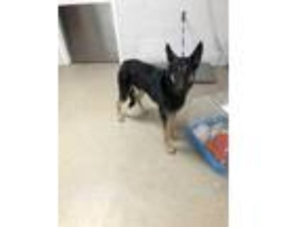 Adopt Banjo a Black Shepherd (Unknown Type) / Mixed dog in Fort Worth