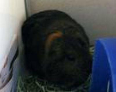 Adopt BONBON a Guinea Pig