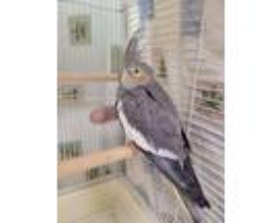 Adopt Firebird a Cockatiel