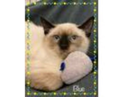 Adopt BLUE available 7/22 a Cream or Ivory (Mostly) Siamese (short coat) cat in