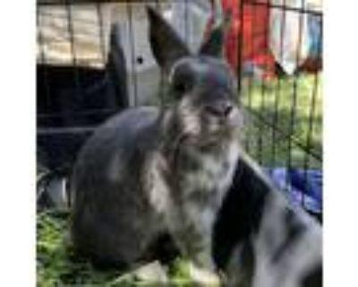 Adopt Dusty a Grey/Silver Netherland Dwarf / Mixed (short coat) rabbit in Los