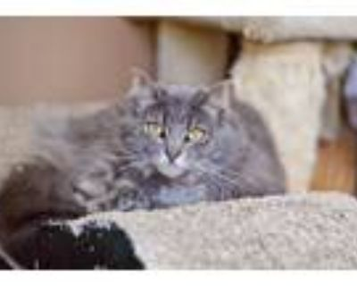 Adopt Puffy a Gray or Blue Maine Coon / Mixed (long coat) cat in Santa Monica