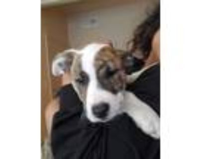 Adopt Zsa'zsa a Brindle - with White American Pit Bull Terrier / American Pit