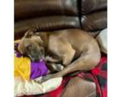 Adopt CoCo a Brown/Chocolate - with White Labrador Retriever / American Pit Bull