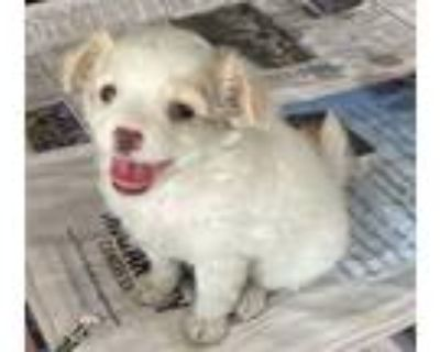 Adopt PIXIE a White - with Red, Golden, Orange or Chestnut Pomeranian / Poodle