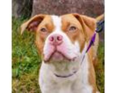 Adopt Florence a White American Pit Bull Terrier / Mixed dog in Ann Arbor