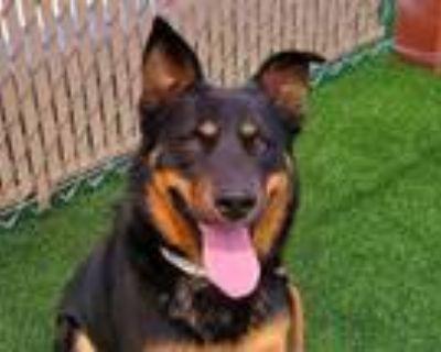 Adopt MAVERICK a Australian Cattle Dog / Blue Heeler, Mixed Breed
