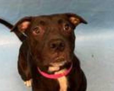 Adopt Lola a Black Labrador Retriever / Mixed dog in Coon Rapids, MN (32054891)