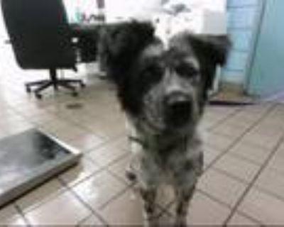 Adopt JEWELS a Australian Cattle Dog / Blue Heeler, Mixed Breed