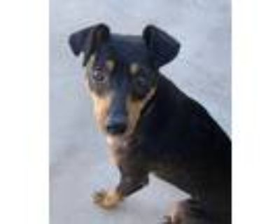 Adopt Poli (Polly) a Black - with Brown, Red, Golden, Orange or Chestnut