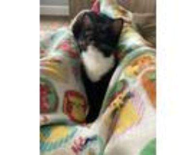 Adopt Minnie a Black & White or Tuxedo Domestic Shorthair / Mixed (short coat)