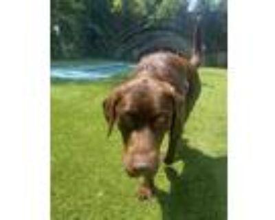 Adopt Duncan a Chocolate Labrador Retriever