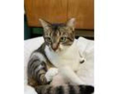 Adopt Nova a Brown Tabby Domestic Shorthair (short coat) cat in Fort Lauderdale