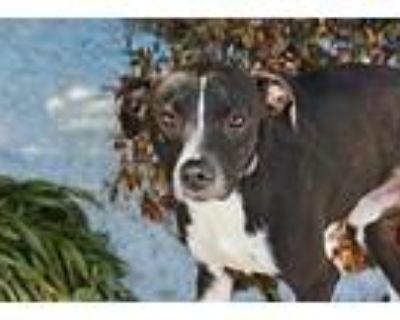Amazing Otto, Labrador Retriever For Adoption In Norfolk, Virginia
