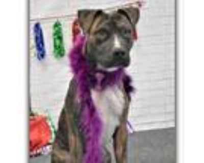 Adopt Roxie a Brindle American Pit Bull Terrier / Mixed dog in Yuma