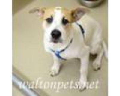 Adopt Konig a Labrador Retriever