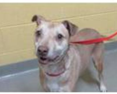 Adopt BEAST a Pit Bull Terrier, Mixed Breed