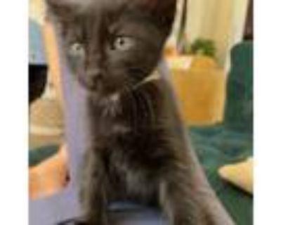 Adopt Bobbi Brass a Domestic Short Hair
