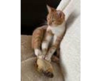 Adopt Alina a Domestic Longhair / Mixed (short coat) cat in Hampton