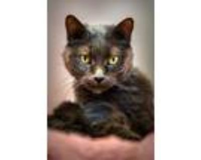 Adopt Furn a Gray or Blue Domestic Shorthair / Domestic Shorthair / Mixed cat in