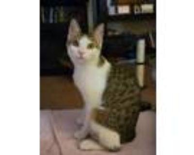 Adopt Raine Kitten a Domestic Short Hair