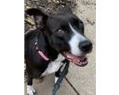 Adopt Darth a Black - with White Whippet / American Pit Bull Terrier / Mixed dog
