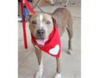 Adopt Lucy HT a Boxer