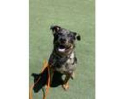 Adopt Sonora a Australian Cattle Dog / Catahoula Leopard Dog / Mixed dog in