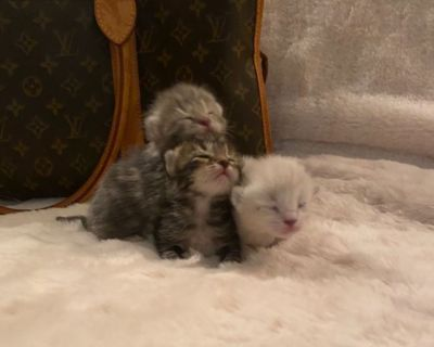 ROYAL Scottish Fold Kitten