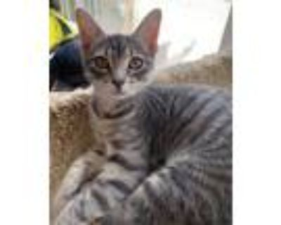 Adopt Smee a Gray, Blue or Silver Tabby Domestic Shorthair (short coat) cat in