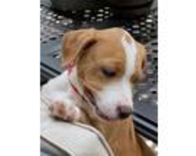 Adopt Pepper a Beagle