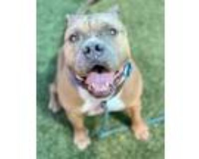 Adopt Gotti a Brown/Chocolate American Pit Bull Terrier / American Pit Bull